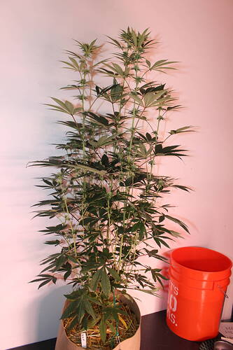 Headbanger #4 flower day 22