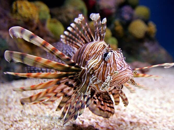 lionfish-9f7f0480b3c6c767897b092ce3ecc3fd91e7d44f-s800-c85