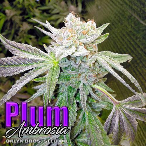 plumambrosia