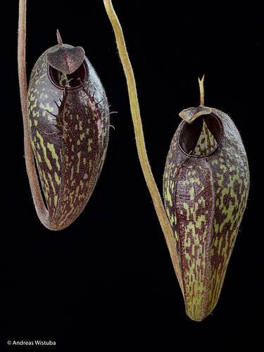 nepenthes-aristolochioides-3