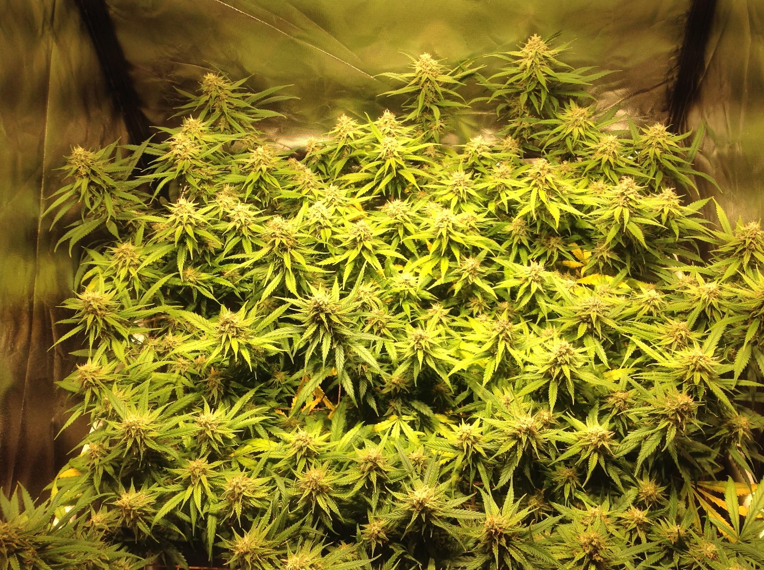 IMG_3610.JPG2592x1936 2.44 MB & 2 tents - 2 lights - 2 plants - General Indoor Growing - Overgrow.com